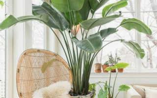6 домашних растений, которые славятся своими большими размерами