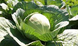 Капуста белокачанная выращивание и уход с фото и видео