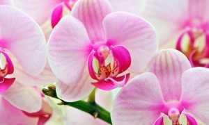 Причины отсутствия цветения у фаленопсиса