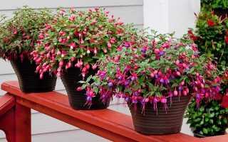 Фуксия выращивание из семян