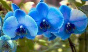 Таинственная голубая орхидея: сорта и фото
