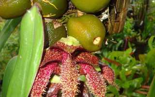 Выращивание орхидея сорта Бульбофиллум
