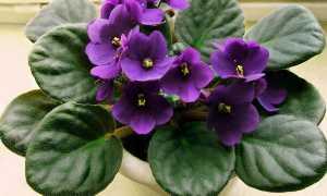 Сенполия (узамбарская фиалка): фото, описание цветка, размножение в домашних условиях и выращивание комнатного растения