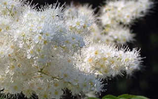 Рябинник рябинолистный – Sorbaria sorbifolia: фото, условия выращивания, уход и размножение