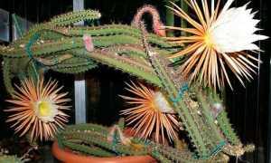 Селеницереус антониани (Selenicereus anthonyanus) — описание, выращивание, фото