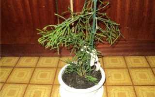 Молочай тирукалли: уход в домашних условиях, фото, как размножать растение