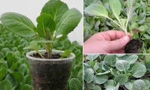 Особенности выращивания рассады капусты