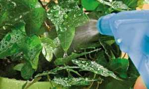 Почему нужно опрыскивать комнатные растения