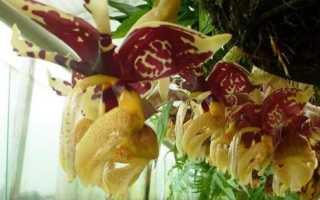 Стангопея непахучая (Stanhopea inodora) — описание, выращивание, фото
