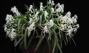 Выращивание орхидея сорта Неофинетия: отзывы, фото, размножение
