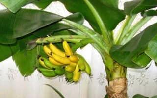 Банан домашний — выращивание и уход в домашних условиях, фото