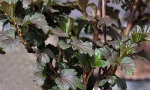 Пузыреплодник калинолистный посадка и уход Фото сортов и описание Размножение черенками