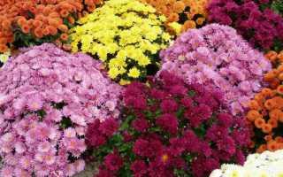 Хризантема мультифлора Уранус: фото и описание