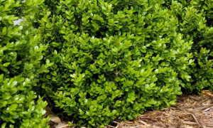 Самшит вечнозеленый: описание, посадка и уход