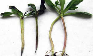 Почему появляется Черная ножка – Всё о болезни растений
