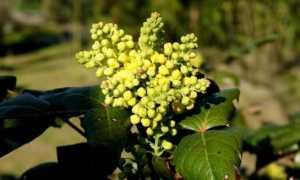 Магония: фото, посадка и уход за кустарником, описание, выращивание, размножение, весной, в подмосковье