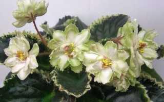 Фиалка ЯН-Сахара (Н. Пуминова): фото и описание сорта