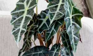 Алоказия – Alocasia: фото, условия выращивания, уход и размножение