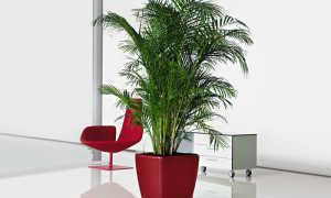 Как вырастить пальму из семян. Размножение пальмы деление куста