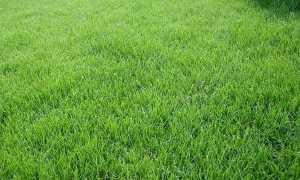 Мятлик однолетний, луговой и еще 4 вида для газона с фото, описание