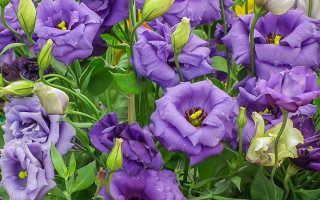 Эустома уход в домашних условиях, фото, выращивание из семян, посадка