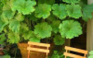 Дармера (Пельтифиллум): описание и фото