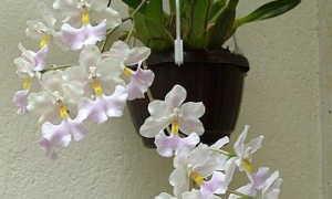 Орхидея Одонтоглоссум: описание, отзывы, посадка и уход в домашних условиях, пересадка