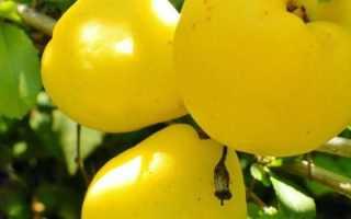 Японская айва (хеномелис): фото и описание, выращивание, посадка и уход за японской айвой
