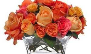 Роза дала росток в вазе: как посадить