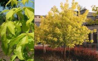 Клен ясенелистный золотисто-пестрый: описание и особенности выращивания, применение