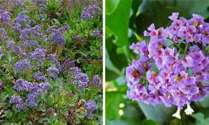 Кермек: фото, выращивание из семян, посадка и уход, татарский, лимониум, ситица, многолетний, широколистный