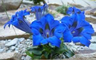 Горечавка бесстебельная – Gentiana acaulis: фото, условия выращивания, уход и размножение
