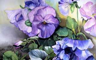 Фиалка: страна происхождения и родина цветка