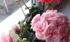 Пеларгония зональная в домашних условиях уход, выращивание из семян, фото