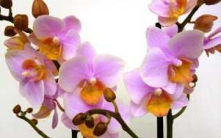Многоцветковая орхидея фаленопсис Мультифлора