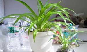 Вечнозеленый хлорофитум
