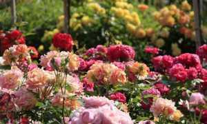 Виды розариев на даче и фото красивых розариев своими руками в саду и на даче