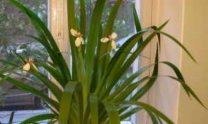 Неомарика (Neomarica) — описание, выращивание, фото