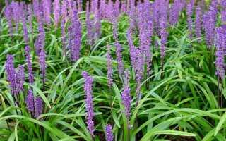 Лириопе: фото, посадка, уход за цветком