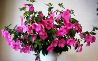 7 цветов радуги ахименеса — уход и выращивание