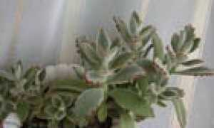 Каланхое войлочное – милый пушистик с «кошачьими ушками» – каланхое, суккулент, домашние, растения