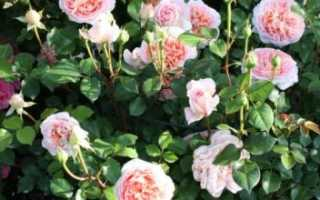 Роза Абрахам Дерби: описание сорта, посадка и уход, болезни и вредители