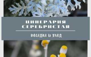 Цинерария приморская(серебристая): фото, выращивание, применение в ландшафтном дизайне
