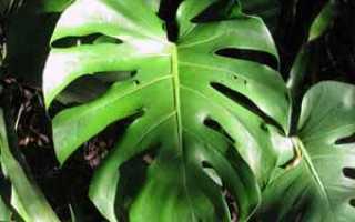 Комнатный цветок с круглыми толстыми листьями