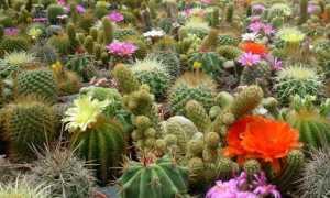 Как вырастить кактус из семян. Уход за сеянцами
