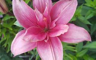 Гибриды лилий, виды и сорта