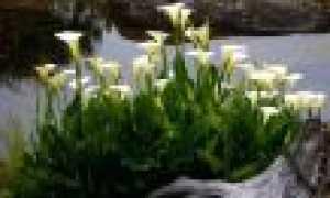 Каллы садовые: виды, описание, посадка и уход, размножение, фото