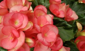 Бегония в доме: приметы и суеверия, в том числе для женщин, можно ли держать этот цветок в квартире и что он принесет своим владельцам