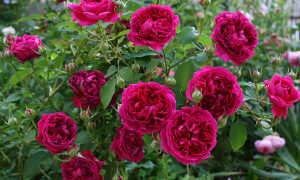 Роза Вильям шекспир 2000 – описание сорта