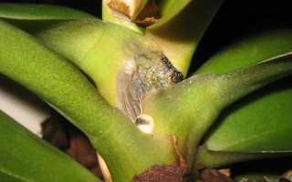 Черная гниль на орхидеи (фаленопсис) – лечение, чем обрабатывать